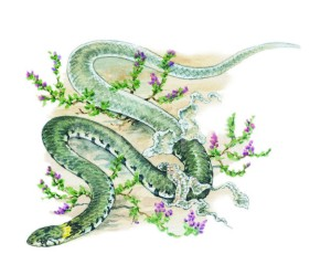 GRASS SNAKE SHEDDING SKIN-ILLUSTRATION