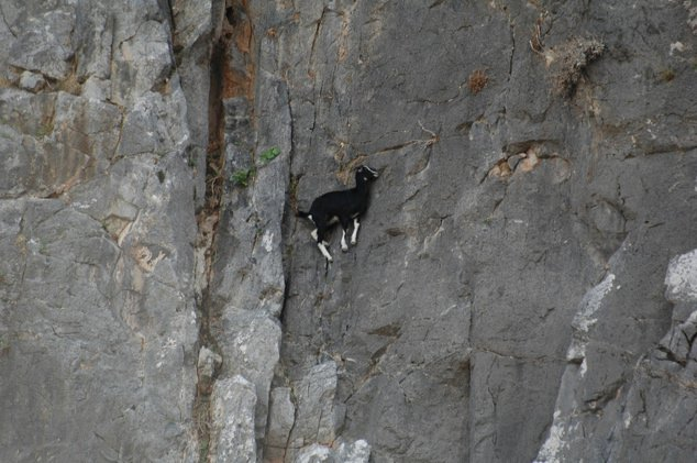 Goats-in-precarious-positions-02
